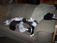 Siberian Cats for sale in Orlando, FL, USA. price: NA
