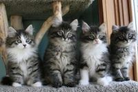 Siberian Cats for sale in Georgetown, GA, USA. price: NA