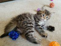 Siberian Cats for sale in Huntsville, AL, USA. price: NA