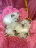 Siberian Cats for sale in Buffalo, NY, USA. price: NA