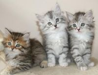 Siberian Cats for sale in Minneapolis, MN, USA. price: NA