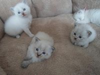 Siberian Cats for sale in Concord, CA, USA. price: NA