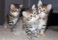 Siberian Cats for sale in Altheimer, AR 72004, USA. price: NA