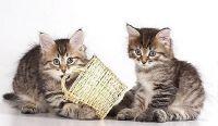 Siberian Cats for sale in San Bernardino, CA, USA. price: NA