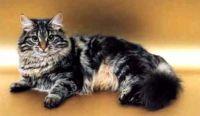 Siberian Cats for sale in Sacramento, CA, USA. price: NA