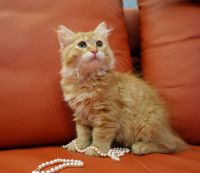 Siberian Cats for sale in Brooklyn, NY, USA. price: NA