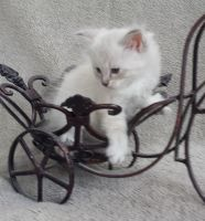 Siberian Cats for sale in Seattle, WA, USA. price: NA