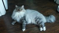 Siberian Cats for sale in Clermont, FL, USA. price: NA