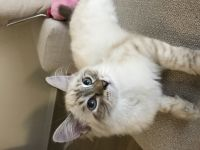 Siberian Cats for sale in Valley Village, CA 91607, USA. price: NA