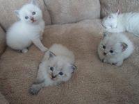 Siberian Cats for sale in Colorado Springs, CO, USA. price: NA