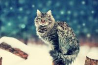 Siberian Cats for sale in West Chester, PA, USA. price: NA