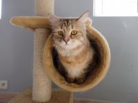 Siberian Cats for sale in Erie, PA, USA. price: NA