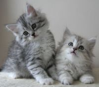 Siberian Cats for sale in Allen St, New York, NY 10002, USA. price: NA