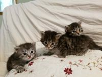 Siberian Cats for sale in Watertown, WI 53098, USA. price: NA