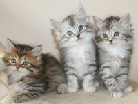 Siberian Cats for sale in Waco, TX, USA. price: NA