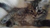 Siberian Cats for sale in Miami, FL, USA. price: NA