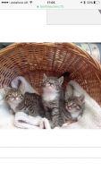 Siberian Cats for sale in Arlington, VA, USA. price: NA