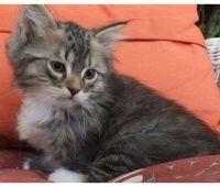 Siberian Cats for sale in Bronxdale Ave, Bronx, NY 10462, USA. price: NA