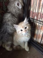 Siberian Cats for sale in Frisco, TX, USA. price: NA