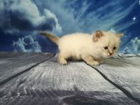 Siberian Cats for sale in Bedford, OH 44146, USA. price: NA