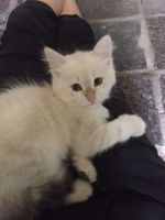 Siberian Cats for sale in Los Angeles, CA, USA. price: NA