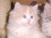 Siberian Cats for sale in State Hwy 295, Washington, DC, USA. price: NA
