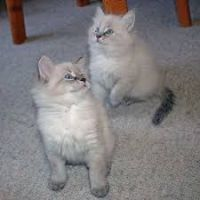 Siberian Cats for sale in Florida, NY, USA. price: NA