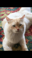 Siberian Cats for sale in Richmond, KY, USA. price: NA