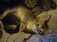 Siberian Cats for sale in Ogema, WI 54459, USA. price: NA