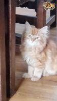 Siberian Cats for sale in 336 N North Carolina Ave, Atlantic City, NJ 08401, USA. price: NA
