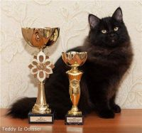 Siberian Cats for sale in Foxborough, MA, USA. price: NA