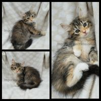 Siberian Cats for sale in Sparta, WI 54656, USA. price: NA