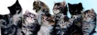 Siberian Cats for sale in 229th Dr, Live Oak, FL 32060, USA. price: NA