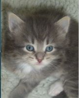 Siberian Cats for sale in Northview Ave, Anderson, SC 29625, USA. price: NA