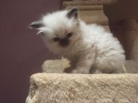 Siberian Cats for sale in Torrance, CA 90503, USA. price: NA