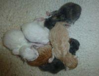 Siberian Cats for sale in 904 FL-436, Altamonte Springs, FL 32714, USA. price: NA