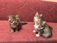 Siberian Cats for sale in Worcester, MA, USA. price: NA