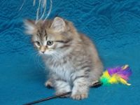 Siberian Cats for sale in New York, NY, USA. price: NA