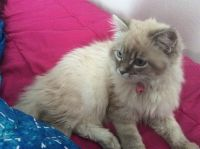 Siberian Cats for sale in High Point, NC, USA. price: NA