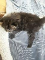 Siberian Cats for sale in Atlanta, GA, USA. price: NA