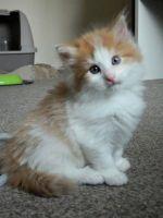 Siberian Cats for sale in Oklahoma City, OK, USA. price: NA