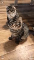 Siberian Cats for sale in Carrollton, MO 64633, USA. price: NA