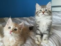 Siberian Cats for sale in Texas City, TX, USA. price: NA