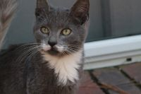 Siberian Cats for sale in Savannah, GA, USA. price: NA