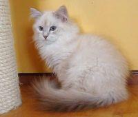 Siberian Cats for sale in Wichita, KS 67208, USA. price: NA