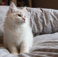 Siberian Cats for sale in Las Vegas, NV 89107, USA. price: NA