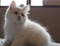 Siberian Cats for sale in Spring Mill, KY 40228, USA. price: NA