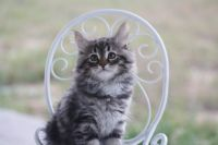 Siberian Cats for sale in Fort Collins, CO, USA. price: NA