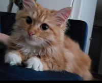 Siberian Cats for sale in Boston, MA, USA. price: NA