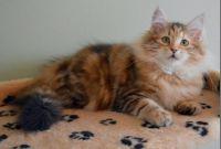 Siberian Cats for sale in Felder Ave, Montgomery, AL, USA. price: NA